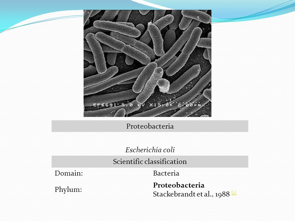 Proteobacteria Escherichia coli Scientific classification Domain:Bacteria Phylum: Proteobacteria Stackebrandt et al., 1988 [1] [1]