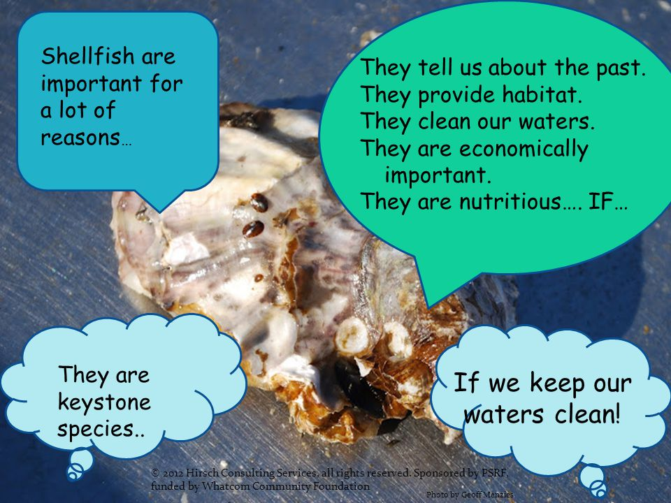 Shellfish are important for a lot of reasons … They tell us about the past. They provide habitat. They clean our waters. They are economically importa