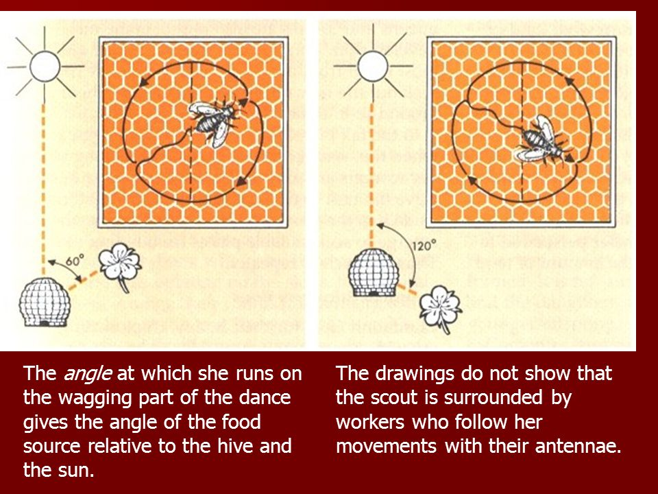 The angle at which she runs on the wagging part of the dance gives the angle of the food source relative to the hive and the sun.
