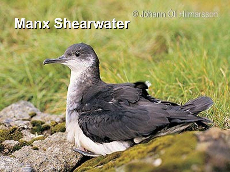 Manx Shearwater