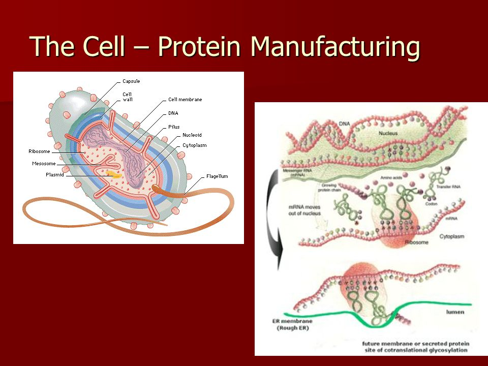 The Cell – Protein Manufacturing
