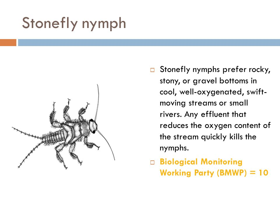 Stonefly nymph  Stonefly nymphs prefer rocky, stony, or gravel bottoms in cool, well-oxygenated, swift- moving streams or small rivers. Any effluent