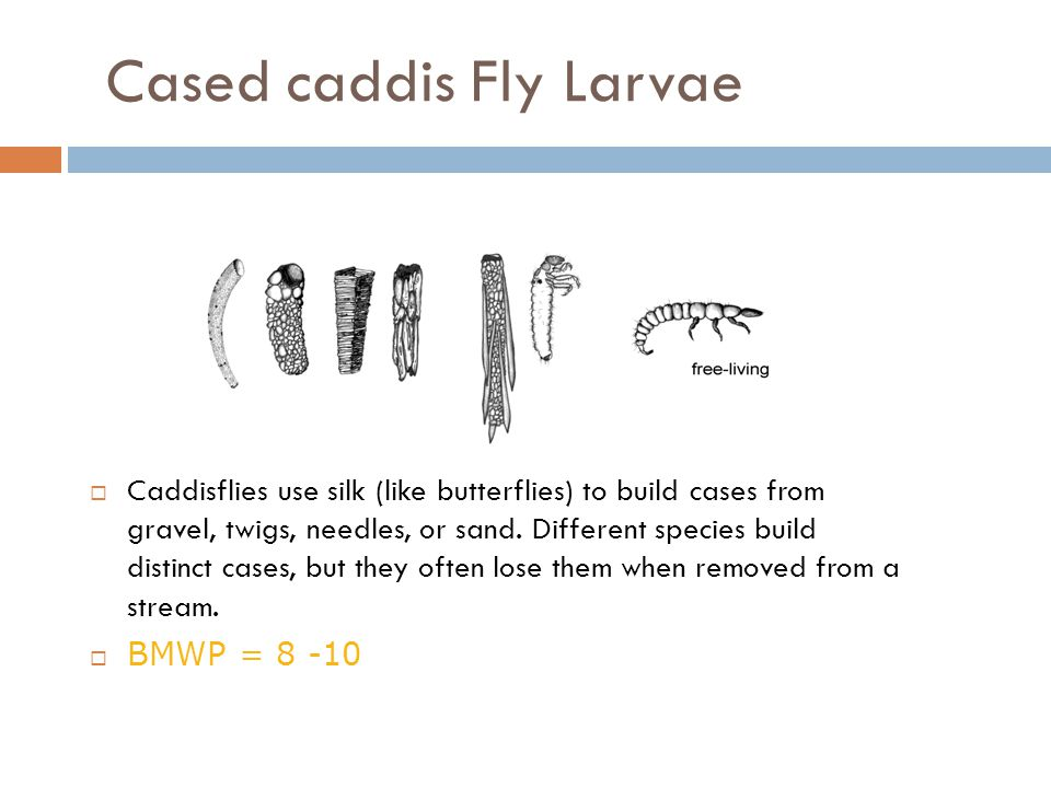 Cased caddis Fly Larvae  Caddisflies use silk (like butterflies) to build cases from gravel, twigs, needles, or sand. Different species build distinc
