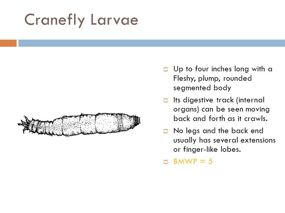 Cranefly Larvae  Up to four inches long with a Fleshy, plump, rounded segmented body  Its digestive track (internal organs) can be seen moving back
