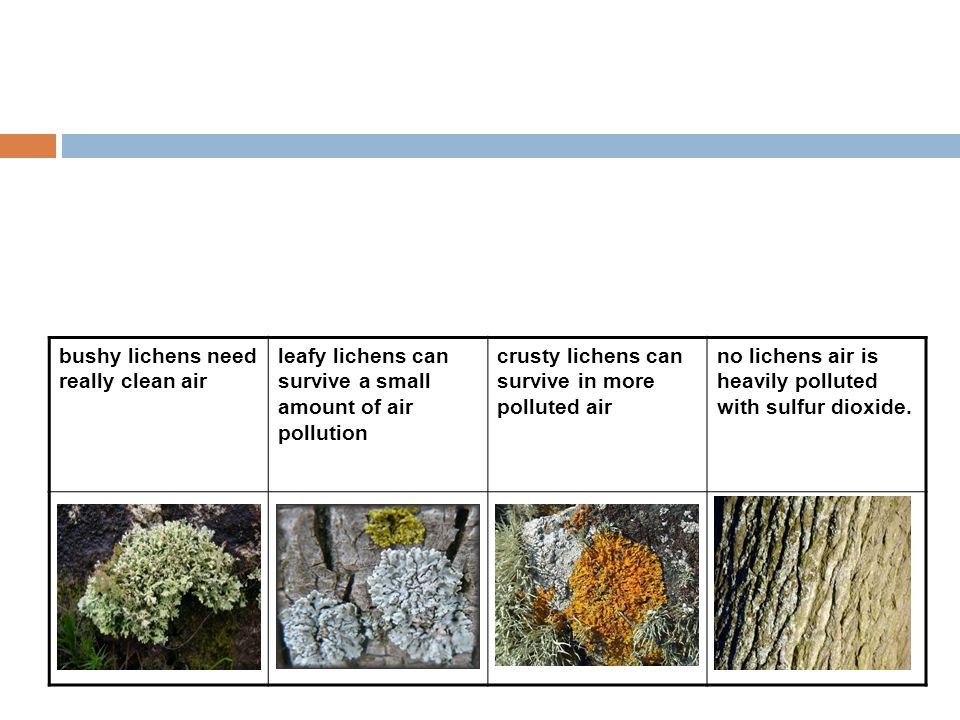 bushy lichens need really clean air leafy lichens can survive a small amount of air pollution crusty lichens can survive in more polluted air no liche