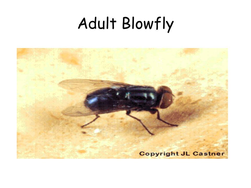 Adult Blowfly