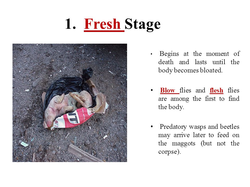 1. Fresh Stage Begins at the moment of death and lasts until the body becomes bloated. Blow flies and flesh flies are among the first to find the body