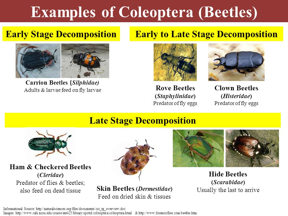 Examples of Coleoptera (Beetles) Informational Source: http://naturalsciences.org/files/documents/csi_tg_overview.doc Images: http://www.cals.ncsu.edu