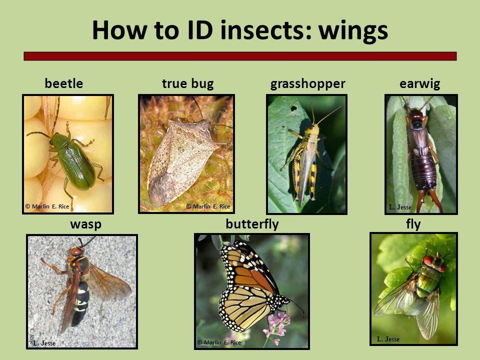 How to ID insects: wings beetle waspbutterflyfly earwiggrasshoppertrue bug L.