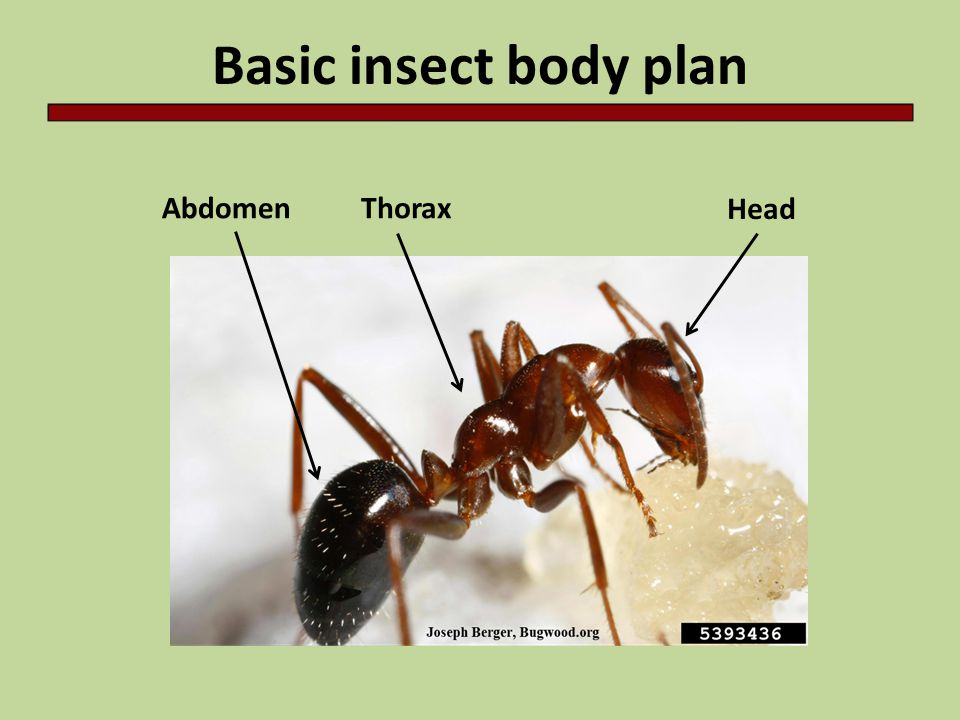 Basic insect body plan Head ThoraxAbdomen