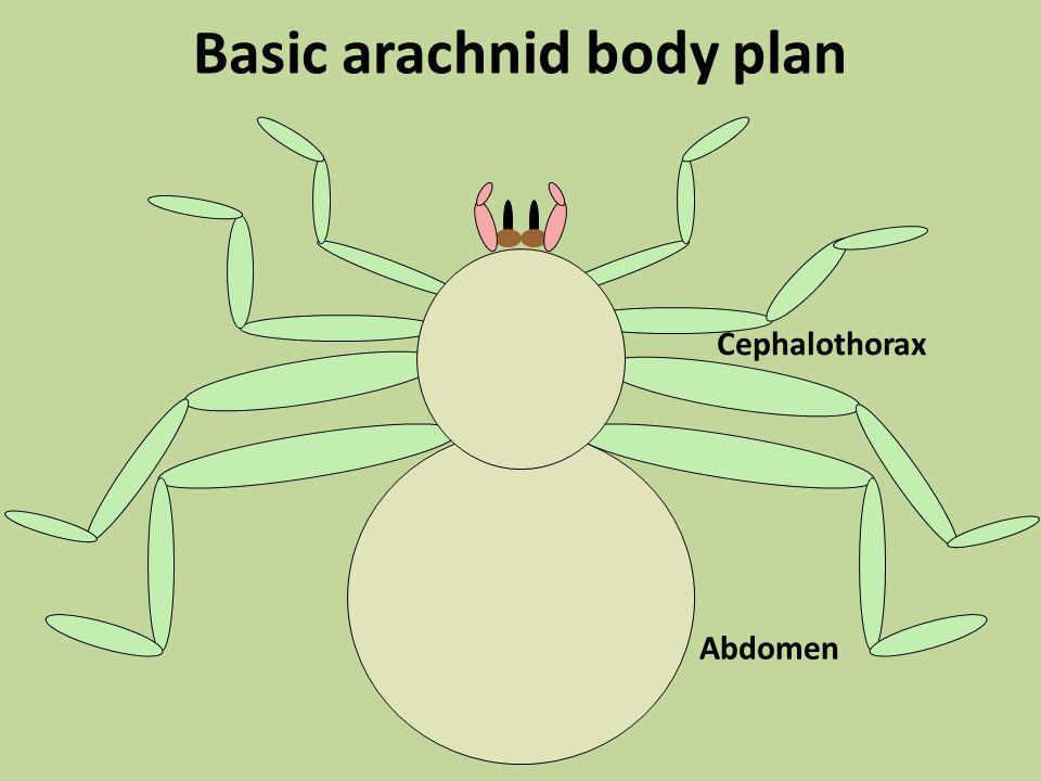 Basic arachnid body plan Cephalothorax Abdomen
