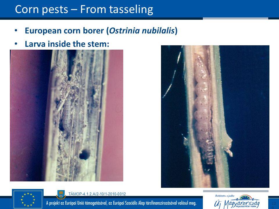 TÁMOP-4.1.2.A/2-10/1-2010-0012 European corn borer (Ostrinia nubilalis) Larva inside the stem: Corn pests – From tasseling129