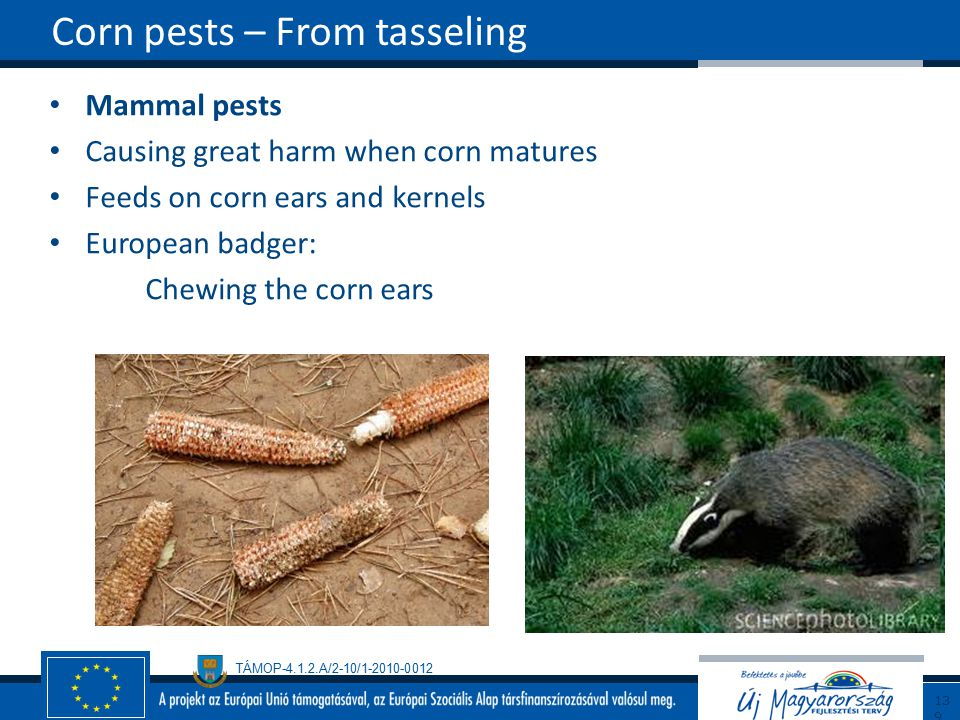 TÁMOP-4.1.2.A/2-10/1-2010-0012 Mammal pests Causing great harm when corn matures Feeds on corn ears and kernels European badger: Chewing the corn ears