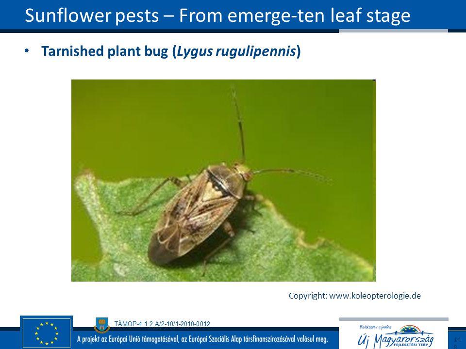 TÁMOP-4.1.2.A/2-10/1-2010-0012 Tarnished plant bug (Lygus rugulipennis) Sunflower pests – From emerge-ten leaf stage148 Copyright: www.koleopterologie.de