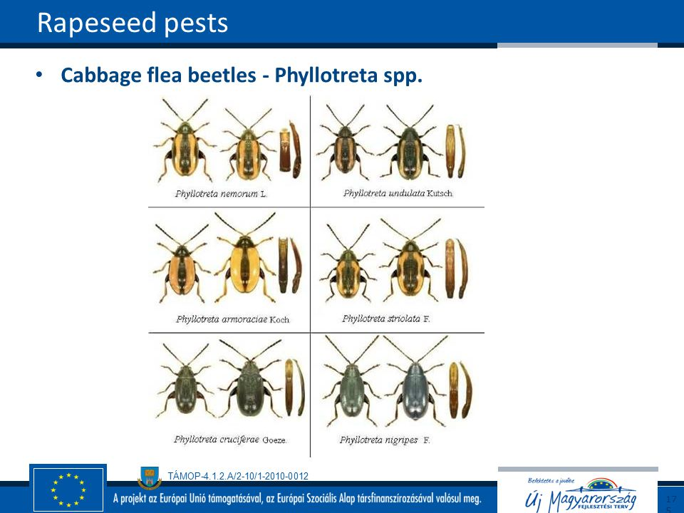 TÁMOP-4.1.2.A/2-10/1-2010-0012 Cabbage flea beetles - Phyllotreta spp. Rapeseed pests175