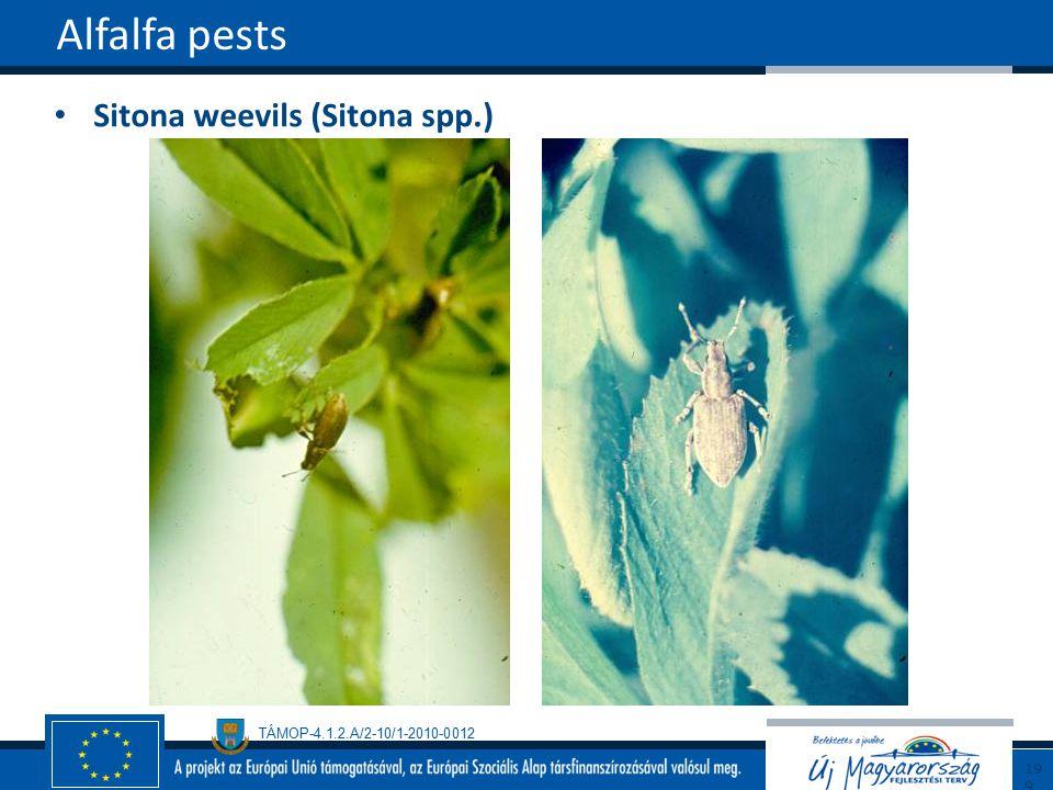TÁMOP-4.1.2.A/2-10/1-2010-0012 Sitona weevils (Sitona spp.) Alfalfa pests199