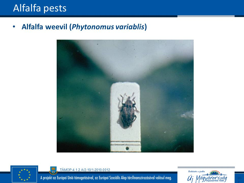 TÁMOP-4.1.2.A/2-10/1-2010-0012 Alfalfa weevil (Phytonomus variablis) Alfalfa pests207
