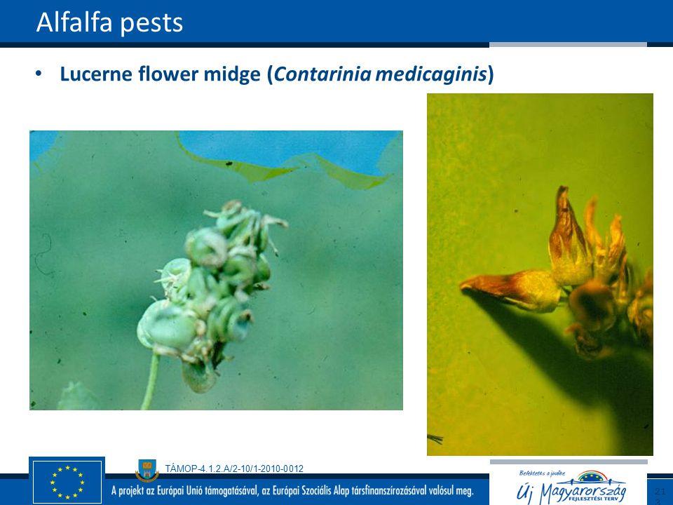 TÁMOP-4.1.2.A/2-10/1-2010-0012 Lucerne flower midge (Contarinia medicaginis) Alfalfa pests213