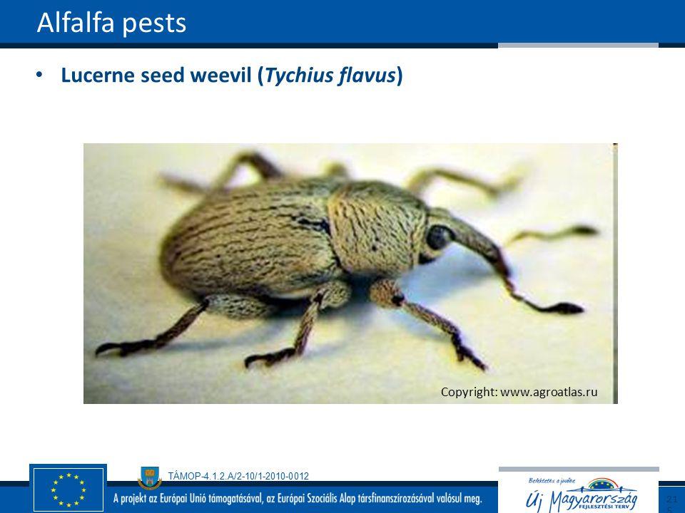 TÁMOP-4.1.2.A/2-10/1-2010-0012 Lucerne seed weevil (Tychius flavus) Alfalfa pests215 Copyright: www.agroatlas.ru