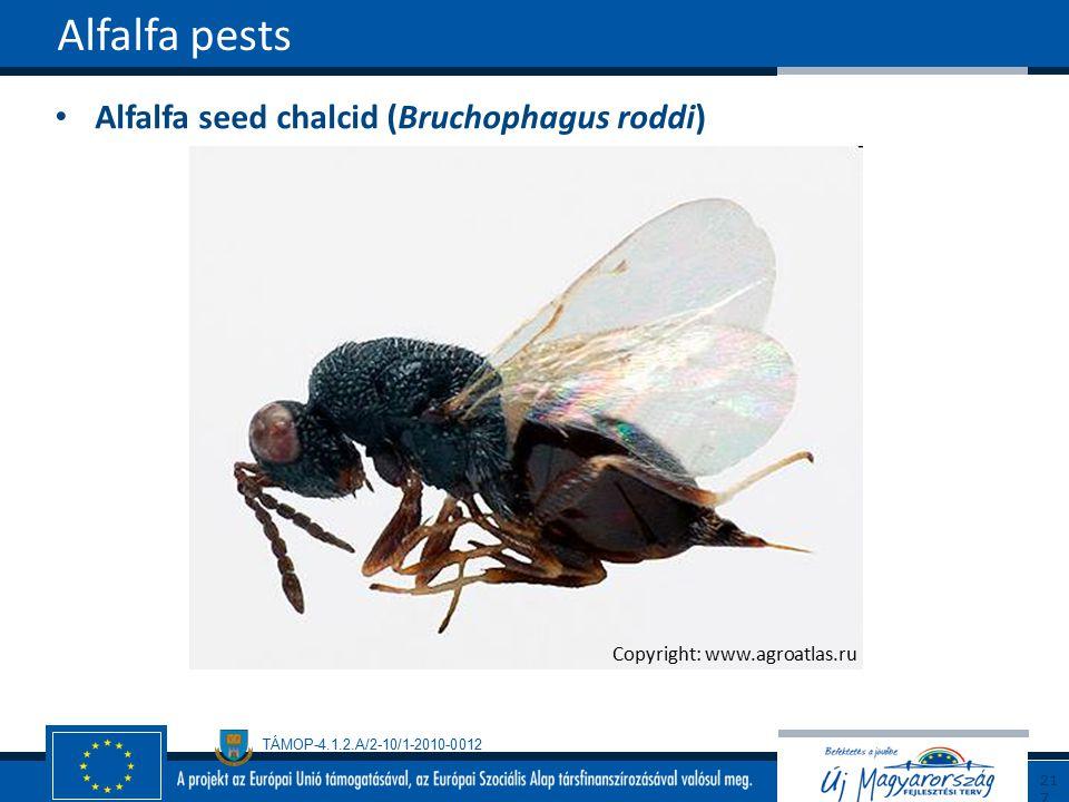 TÁMOP-4.1.2.A/2-10/1-2010-0012 Alfalfa seed chalcid (Bruchophagus roddi) Alfalfa pests217 Copyright: www.agroatlas.ru
