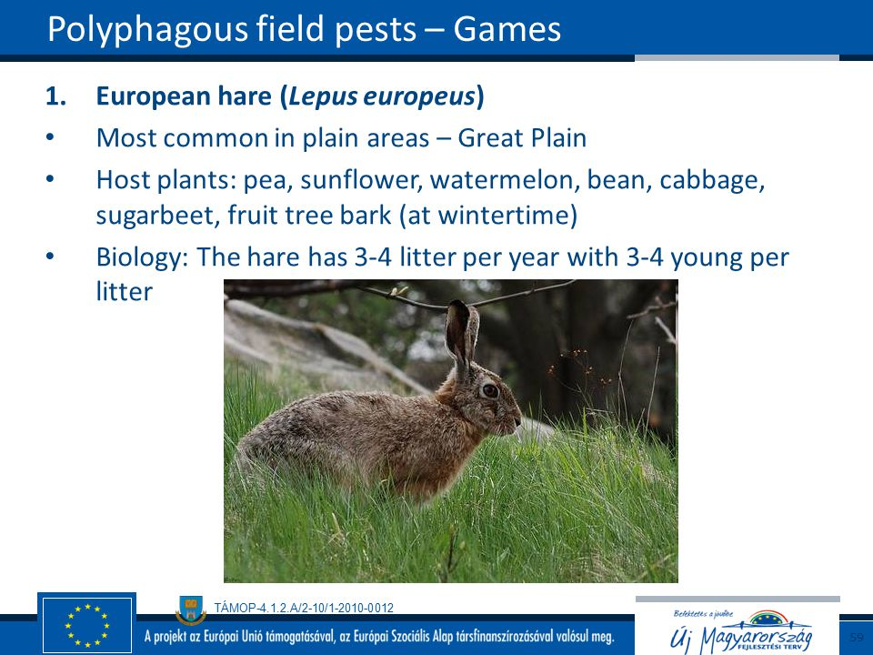 TÁMOP-4.1.2.A/2-10/1-2010-0012 1.European hare (Lepus europeus) Most common in plain areas – Great Plain Host plants: pea, sunflower, watermelon, bean, cabbage, sugarbeet, fruit tree bark (at wintertime) Biology: The hare has 3-4 litter per year with 3-4 young per litter Polyphagous field pests – Games 59
