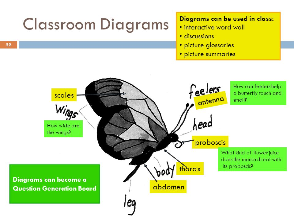 Classroom Diagrams 22 thorax abdomen antenna proboscis scales Diagrams can be used in class: interactive word wall discussions picture glossaries pict
