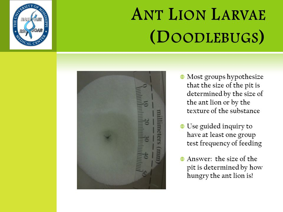 A NT L ION L ARVAE (D OODLEBUGS )  Most groups hypothesize that the size of the pit is determined by the size of the ant lion or by the texture of the substance  Use guided inquiry to have at least one group test frequency of feeding  Answer: the size of the pit is determined by how hungry the ant lion is!