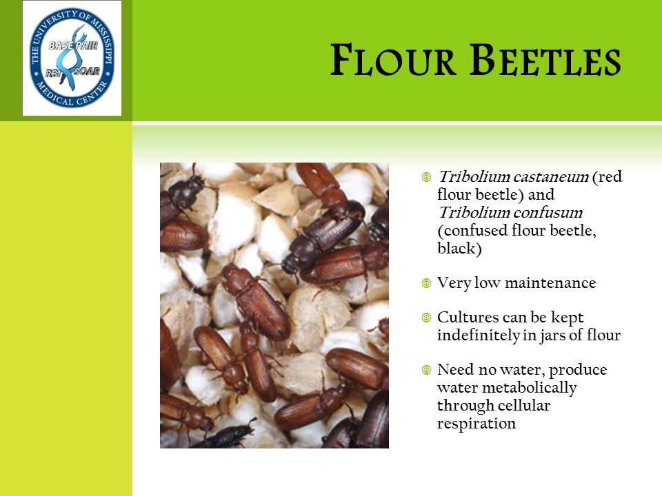 F LOUR B EETLES  Tribolium castaneum (red flour beetle) and Tribolium confusum (confused flour beetle, black)  Very low maintenance  Cultures can be kept indefinitely in jars of flour  Need no water, produce water metabolically through cellular respiration