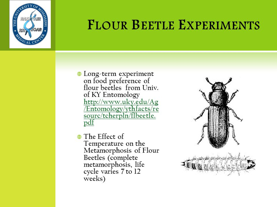 F LOUR B EETLE E XPERIMENTS  The Effect of Different Colors on Flour Beetle Attraction (are flour beetles color blind?)  Interspecific competition (when placed together with limited resources, does one species of flour beetle affect the survival of the other species)  Let students design their own experiments (experimental design template)