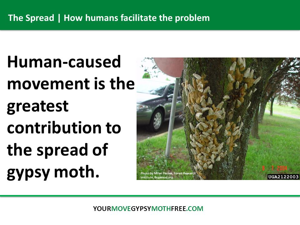 The Spread | How humans facilitate the problem Human-caused movement is the greatest contribution to the spread of gypsy moth.