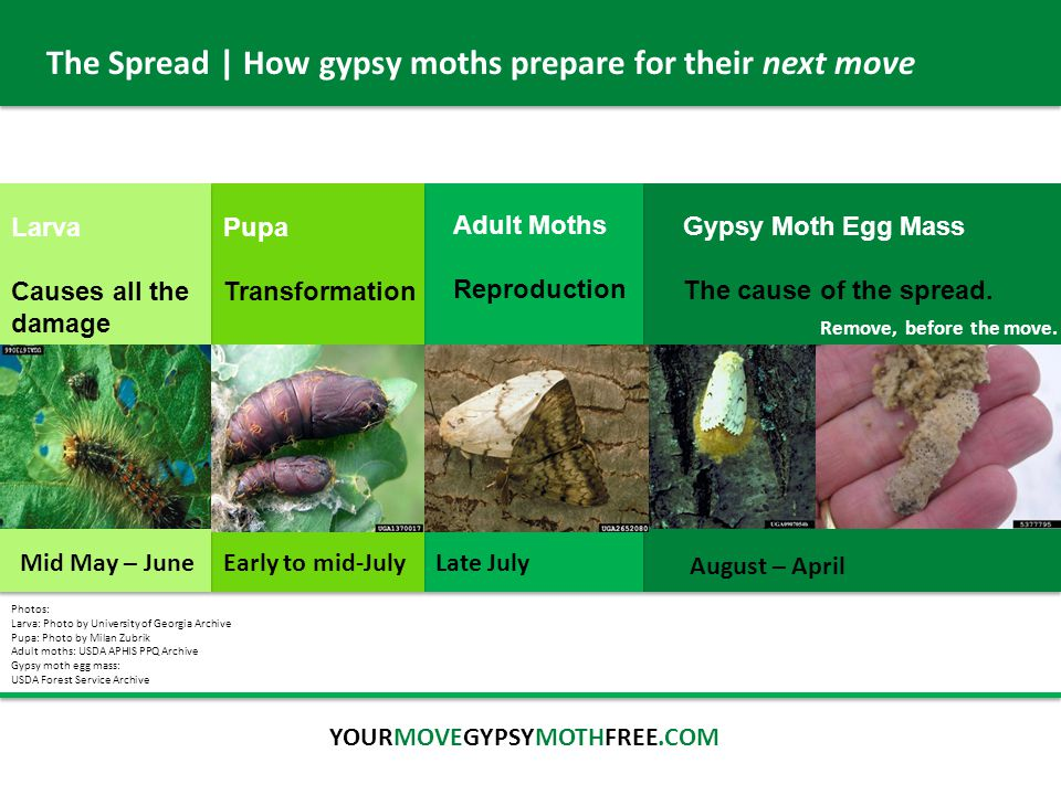 The Spread | How gypsy moths prepare for their next move August – April Early to mid-July Mid May – June Gypsy Moth Egg Mass The cause of the spread.