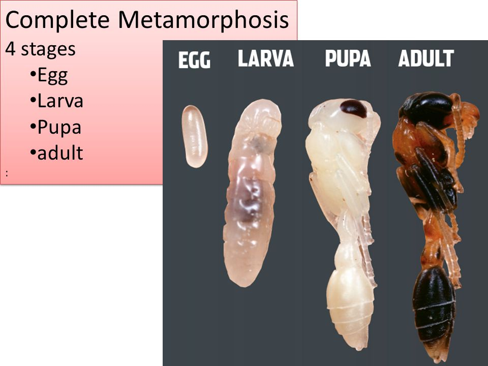 Complete Metamorphosis 4 stages Egg Larva Pupa adult : Complete Metamorphosis 4 stages Egg Larva Pupa adult :