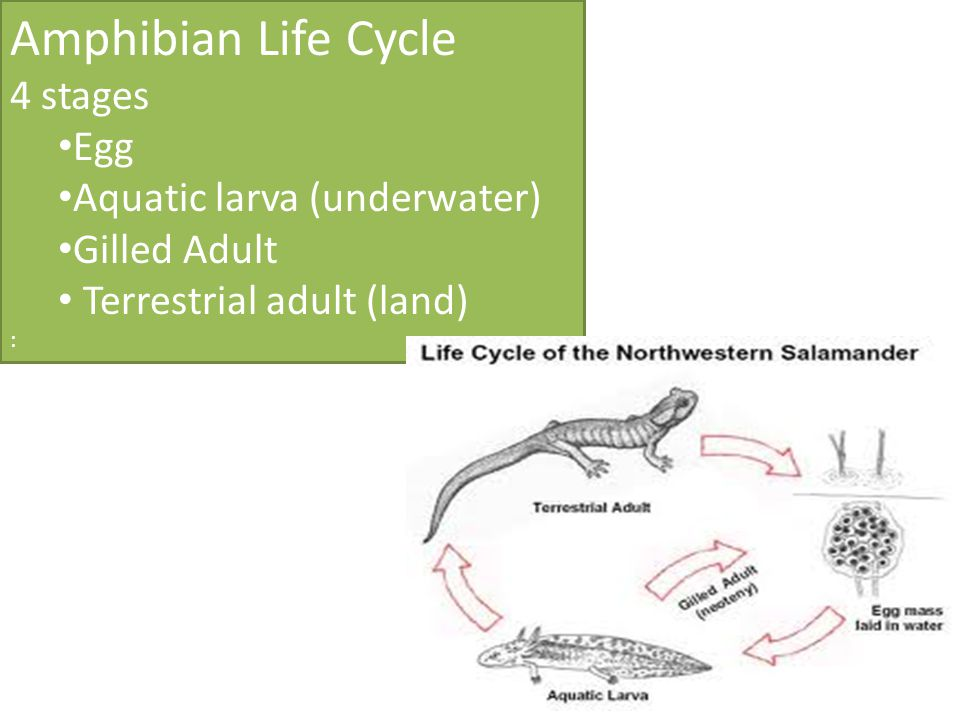 Amphibian Life Cycle 4 stages Egg Aquatic larva (underwater) Gilled Adult Terrestrial adult (land) :