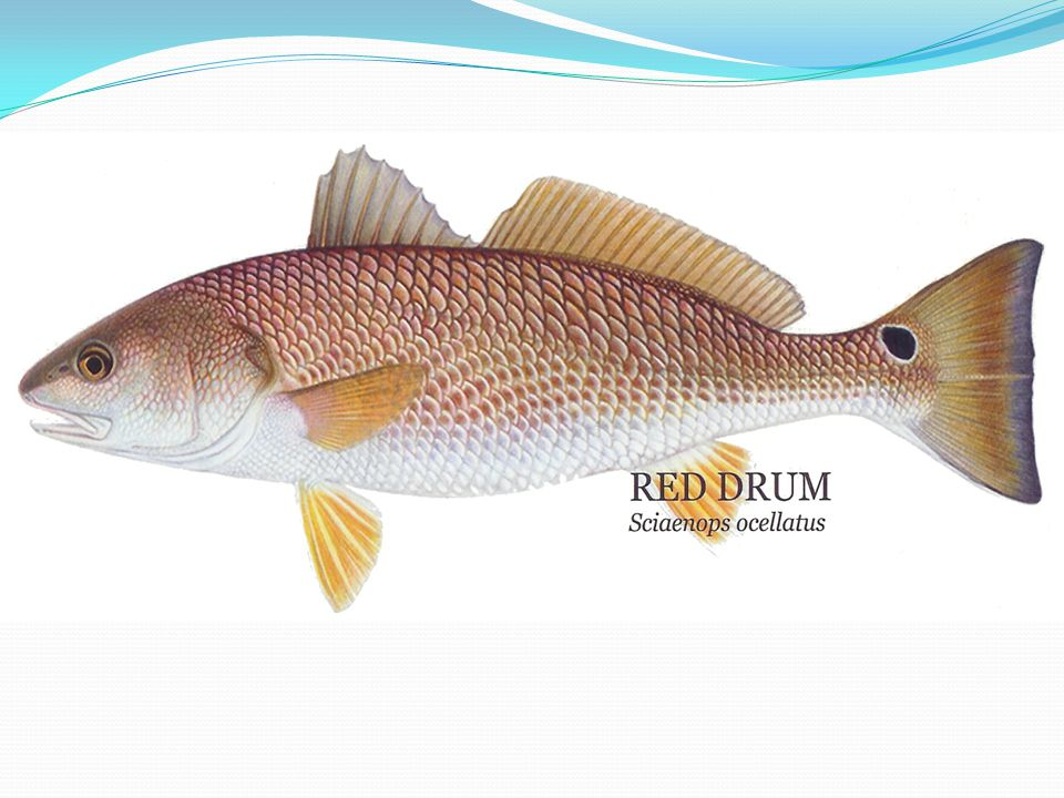 Red Drum Aquaculture Advantages Disadvantages They are well adapted to thrive in captivity Very hardy species Many offspring Not a picky eater Fairely easily grown and harvested Can be harvested within one year Can possibly contract and spread many diseases (mainly as exotic species) The young are sometimes cannibalistic in nature so grading is necessary Environmental waste
