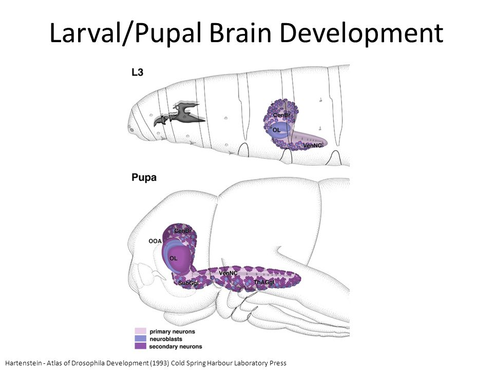 Larval/Pupal Brain Development Hartenstein - Atlas of Drosophila Development (1993) Cold Spring Harbour Laboratory Press
