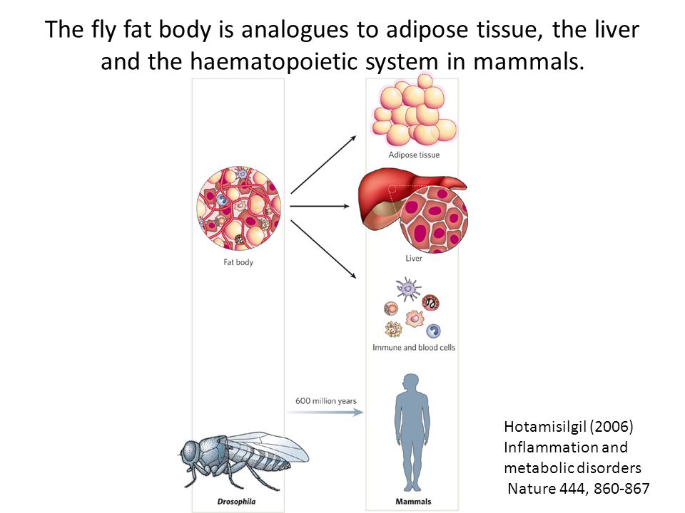 Leopold & Perrimon (2007) Drosophila and the genetics of the internal milieu Nature 450, 186-188 Drosophila oenocytes are analogous to mammalian hepatocytes
