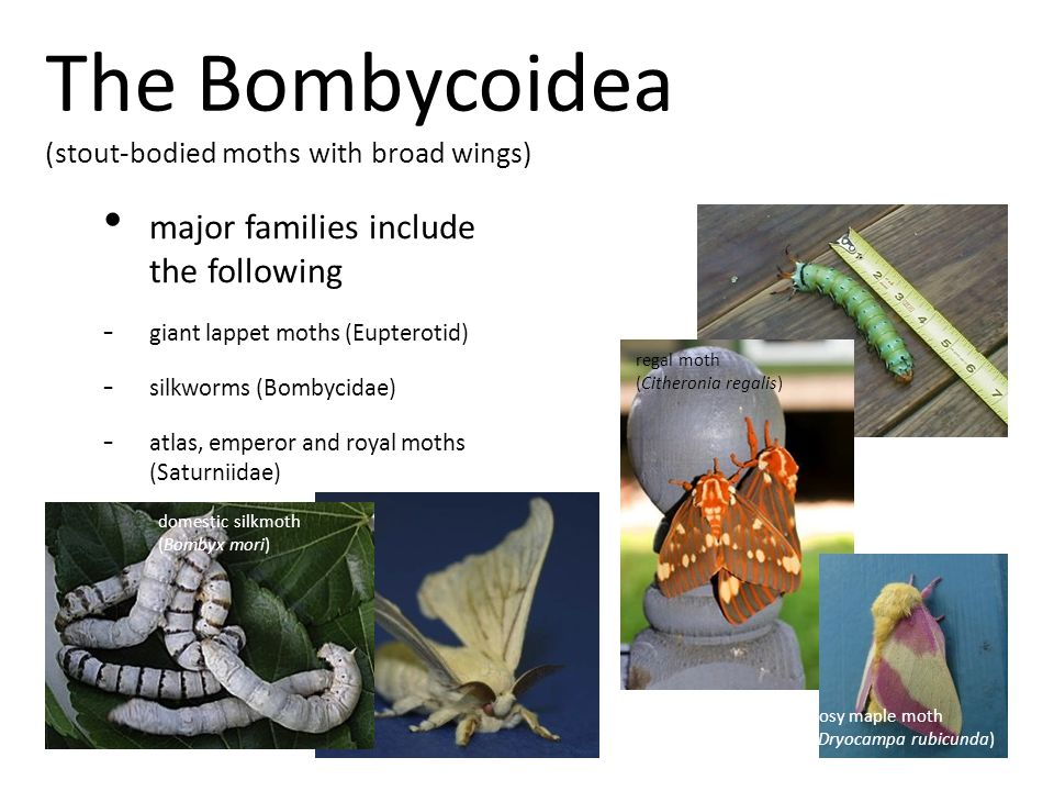 The Bombycoidea (stout-bodied moths with broad wings) major families include the following - giant lappet moths (Eupterotid) - silkworms (Bombycidae) - atlas, emperor and royal moths (Saturniidae) domestic silkmoth (Bombyx mori) rosy maple moth (Dryocampa rubicunda) regal moth (Citheronia regalis)