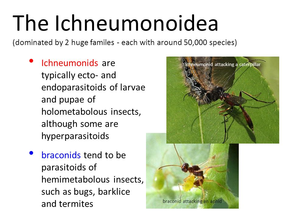 Ichneumonids are typically ecto- and endoparasitoids of larvae and pupae of holometabolous insects, although some are hyperparasitoids braconids tend to be parasitoids of hemimetabolous insects, such as bugs, barklice and termites The Ichneumonoidea (dominated by 2 huge familes - each with around 50,000 species) Ichneumonid attacking a caterpillar braconid attacking an aphid