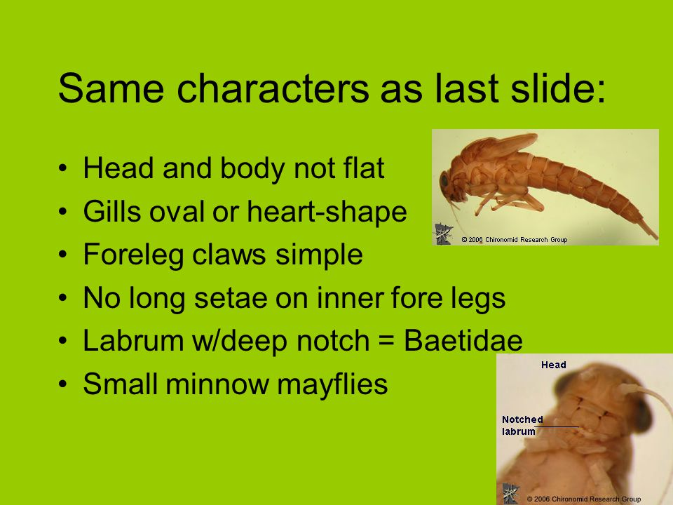 Same characters as last slide: Head and body not flat Gills oval or heart-shape Foreleg claws simple No long setae on inner fore legs Labrum w/deep no