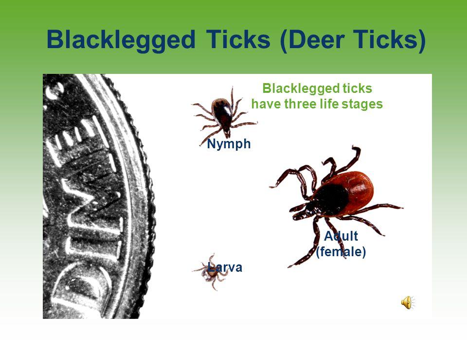 Three Local Ticks Dog tick Dermacentor variabilis Lone star tick Amblyomma americanum Deer tick Ixodes scapularis