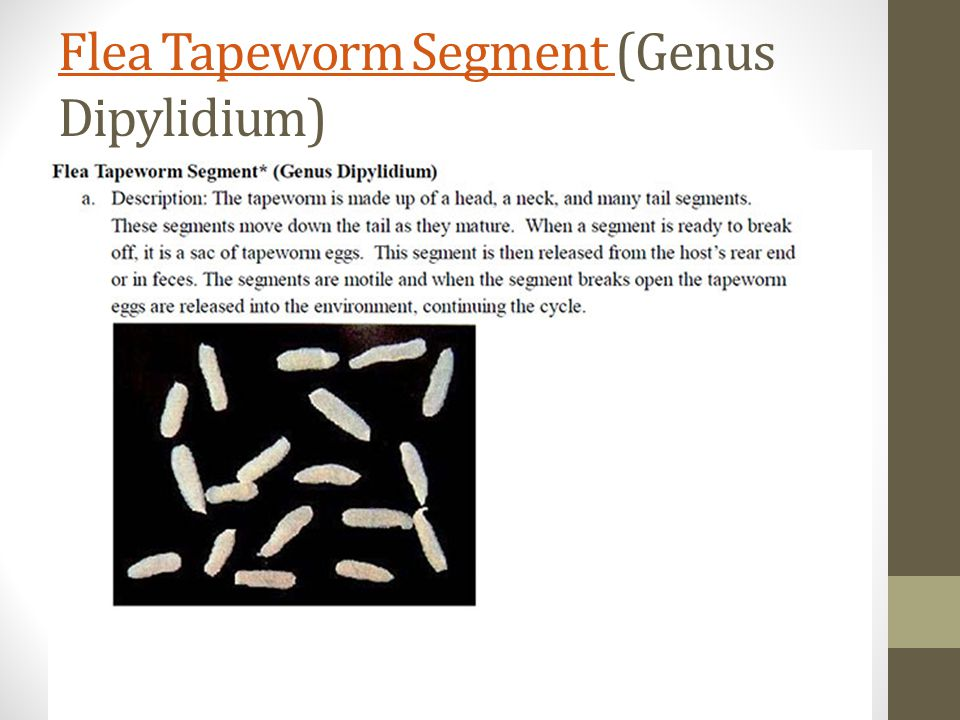 Flea Tapeworm Segment Flea Tapeworm Segment (Genus Dipylidium)