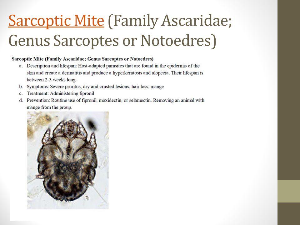 Sarcoptic MiteSarcoptic Mite (Family Ascaridae; Genus Sarcoptes or Notoedres)
