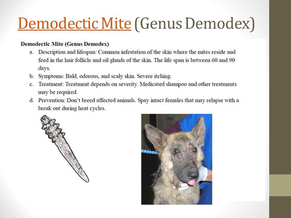 Demodectic MiteDemodectic Mite (Genus Demodex)