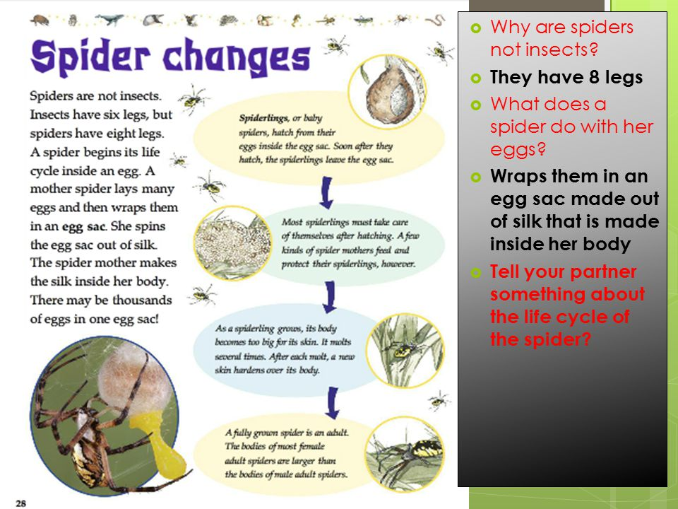 Why are spiders not insects.  They have 8 legs  What does a spider do with her eggs.