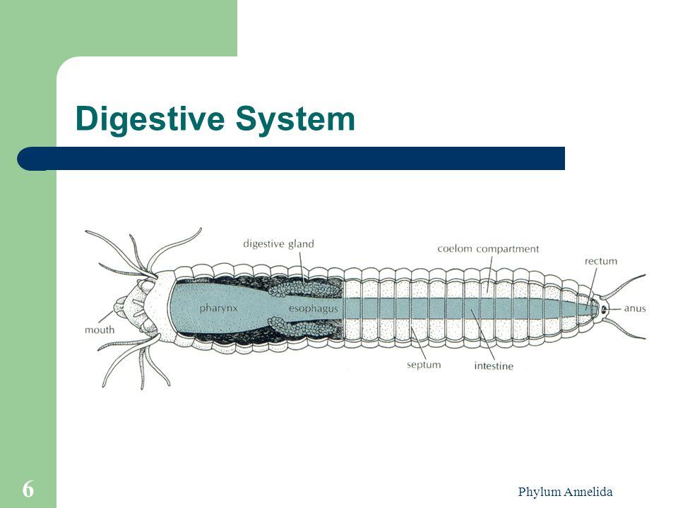 Phylum Annelida 6 Digestive System