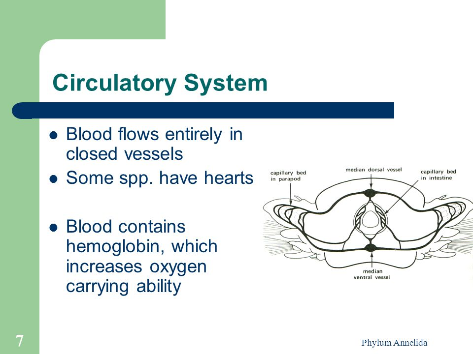 Phylum Annelida 7 Circulatory System Blood flows entirely in closed vessels Some spp. have hearts Blood contains hemoglobin, which increases oxygen ca