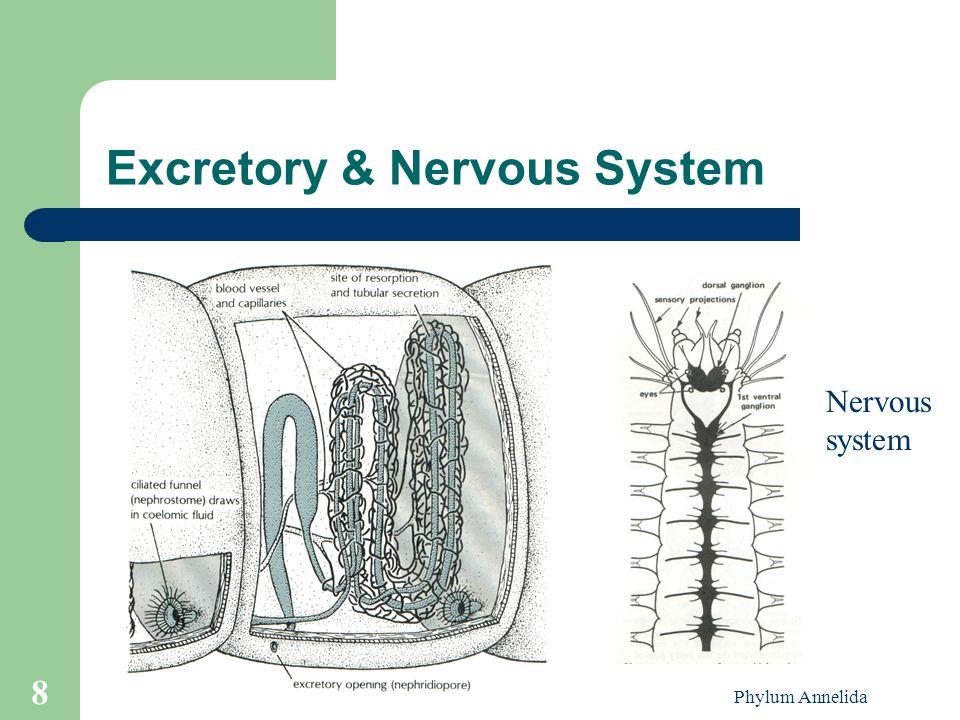 Phylum Annelida 8 Excretory & Nervous System Nervous system