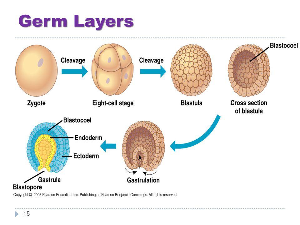 Germ Layers 15