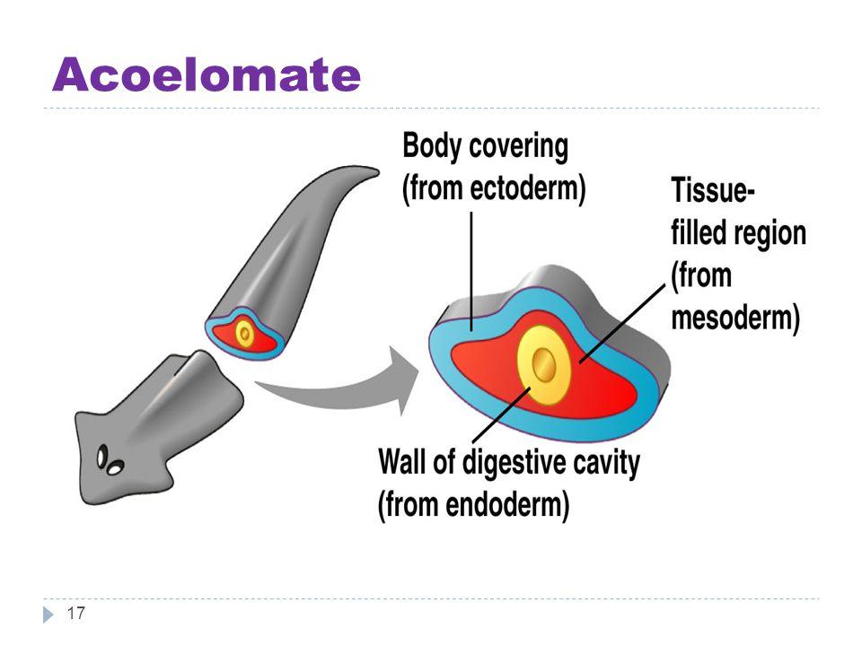 Acoelomate 17