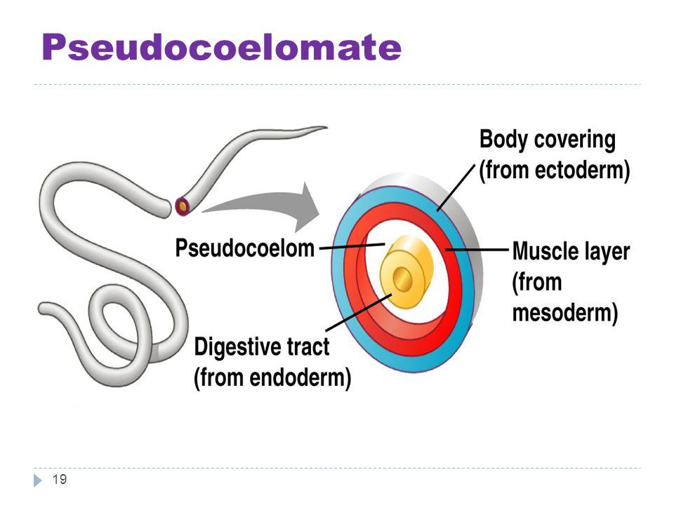 Pseudocoelomate 19